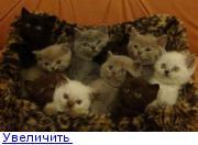 Огласи!Ру: Британские котята - голубой, лиловый, чёрный, шоколадный...