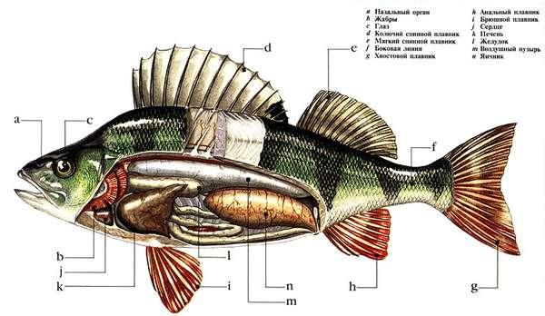 """Реферат: Хрящевая и костная рыба  """" Рефераты, курсовые - 1"""